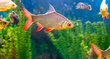 cyprinidae: A photo of a common roach with a lot fishes in aquarium. Stock Photo