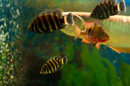 cichlidae: Fishes in aquarium
