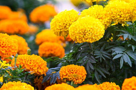Beautiful marigold flowers Stock Photo