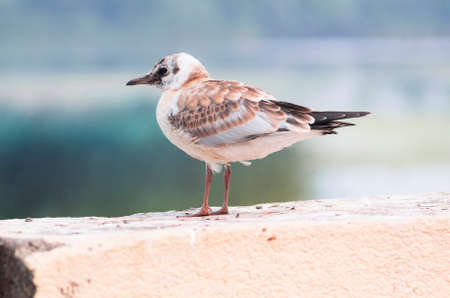 A beautiful light brown juvenile gull is sitting on a fence. Stock Photo