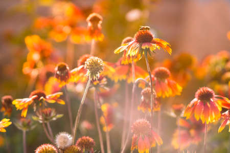 entomological: Lots of beautiful echinacea flowers in the garden on the sunset. Toned image.