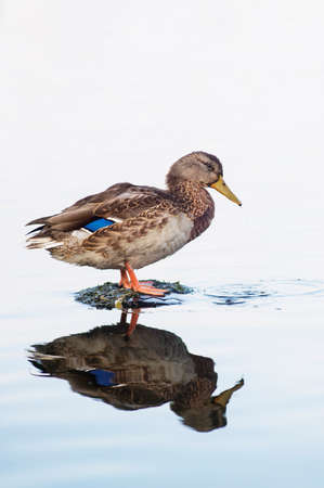 wild duck: A beautiful female of a wild duck is standing on something in water.