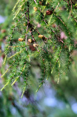 acerose leaf: A photo with green fir branches with cones, selective focus.