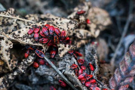 Big colony of Pyrrhocoris apterus on the decayed leaves. Selective focus.