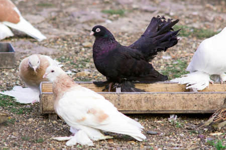 Lots of purebred pigeons with beautiful hackle feathers near feeding trough.