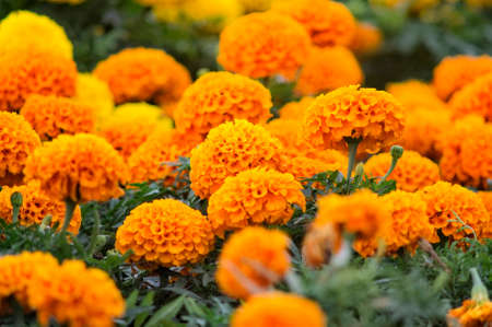 Lots of beautiful marigold flowers in the garden. Stock Photo