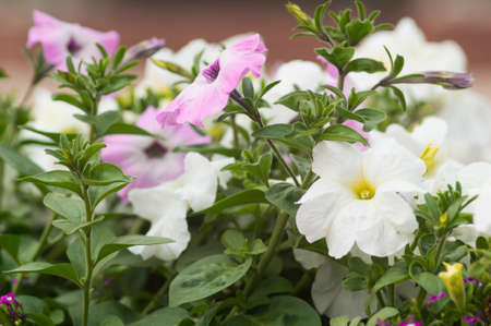 Lots of beautiful petunia flowers in the garden. Stock Photo