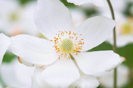A photo of a beautiful japanese anemone flower in a garden. Stock Photo