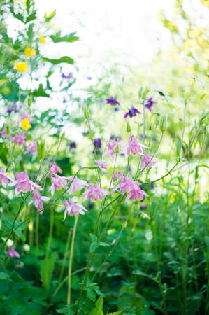 pink columbine: A photo of pink aquilegia flowers in a garden. Common names of aquilegia: grannys bonnet or columbine.