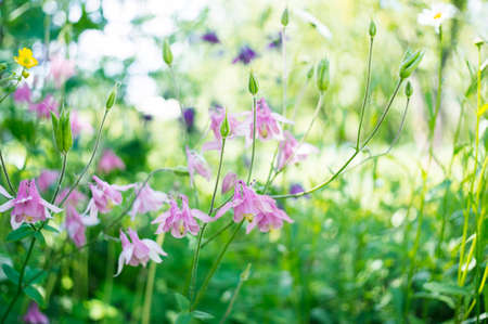 A photo of pink aquilegia flowers in a garden. Common names of aquilegia: grannys bonnet or columbine.