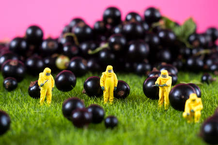 Four people in hazmat suits are checking black currant. GMO, chemical or radioactive polluted food concept.