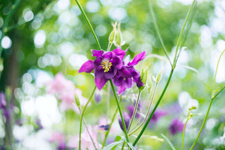 pink columbine: A photo of pink aquilegia flowers in a garden. Common names of aquilegia: grannys bonnet or columbine