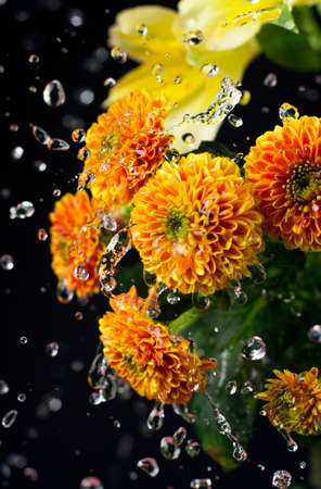 A photo of chrysanthemum flowers and water drops floating in the air. Chrysanthemums, sometimes called mums or chrysanths, are flowering plants of the genus Chrysanthemum in the family Asteraceae. Selective focus. Stok Fotoğraf