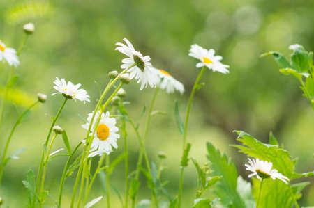 A photo of a camomile in a garden. Selective focus.