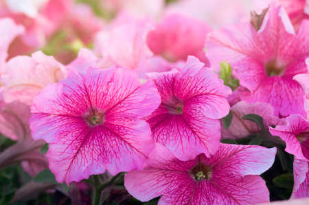 Lots of beautiful petunia flowers in the garden. Stock fotó