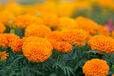 Lots of beautiful flowers in the garden. They are often called Mexican, Aztec or African marigold (Tagetes erecta). Stock fotó