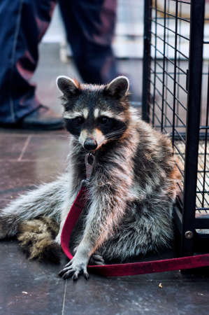 Cute racoon is sitting at the zoo