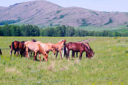 A herd of horses is grazing