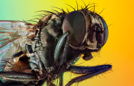 An extreme macro of a housefly. Stack of photos.