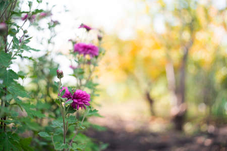 A photo of chrysanthemums in an autumn garden. These flowers sometimes called mums or chrysanths, are flowering plants of the family Asteraceae. Selective focus.