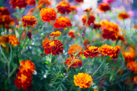 Lots of beautiful flowers in the garden. They are often called French marigold (Tagetes patula). Selective focus.