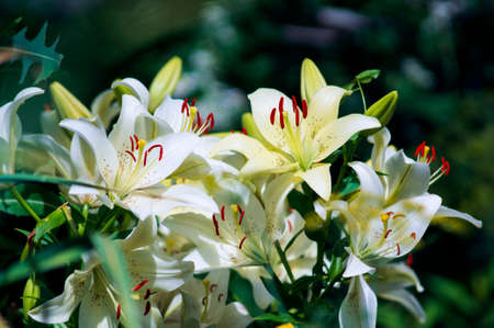 Beautiful flowers in the garden. They are called Lilium. Selective focus.