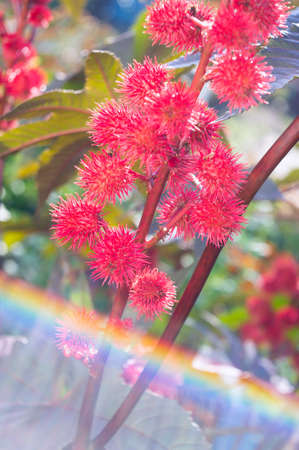 Castor oil plant in the garden. Selective focus.