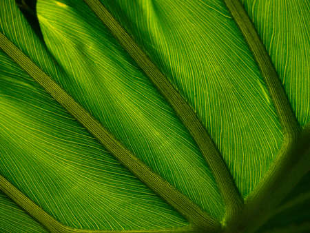 Abstract Structure of Green Leaf Veins photo