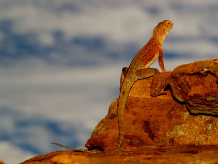 Lizzard resting on Rock in the Outback of Australia photo