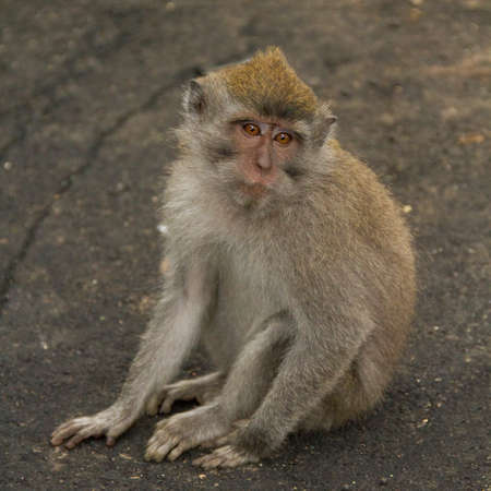 Macaque monkey portrait sitting Stock Photo - 13555041