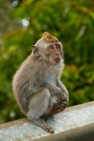Macaque monkey portrait sitting Stock Photo - 13555366