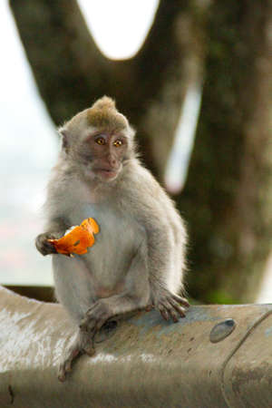 Macaque monkey portrait sitting photo