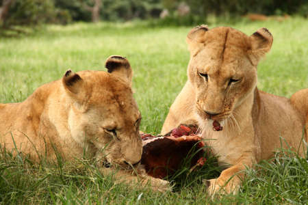 Lions eating meat photo