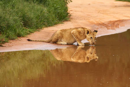 Baby lion drinking at water hole photo