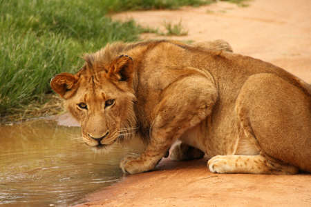 Lion drinking at water hole Stock Photo - 13555193