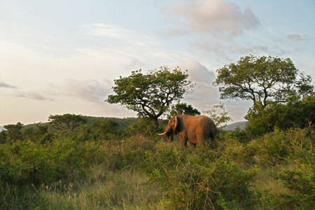 game reserve: African Elephant within game reserve