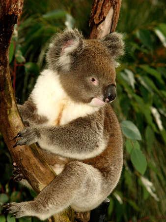 コアラはユーカリの木、オーストラリア、クローズ アップに座っています。