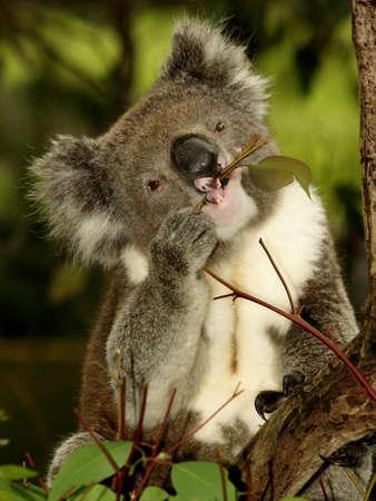 coala: Koala sentado en un �rbol de eucalipto, Australia, Close Up