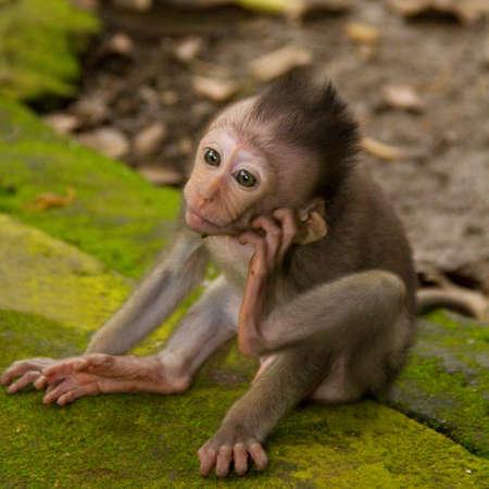 macaque: Macaque monkey portrait baby