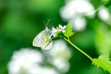 Pieris napi butterfly