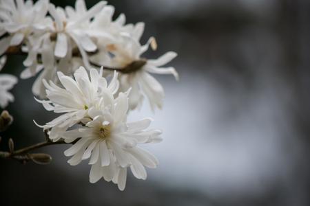 Magnolia flowers 版權商用圖片