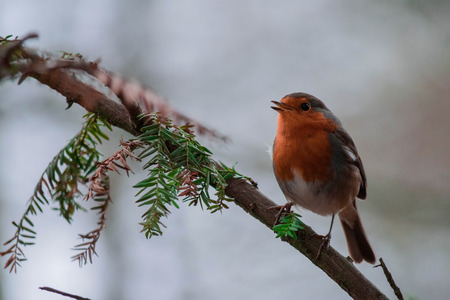 Singing robin on branch
