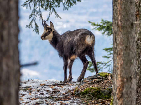 Chamois in Valais at the start of winter