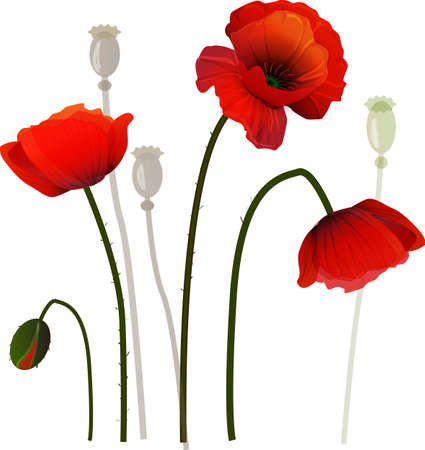 Red poppies on a fild