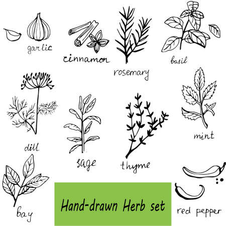 basil: Vector background with hand drawn herbs and spices Organic and fresh spices illustration. Illustration