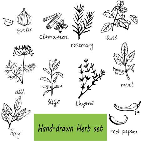 hierbas: Vector de fondo con hierbas y especias orgánicas dibujados a mano y especias frescas ilustración.