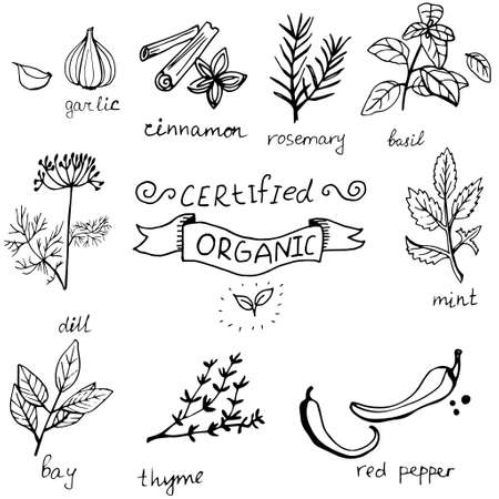 Vector background with hand drawn herbs and spices Organic and fresh spices illustration. Çizim