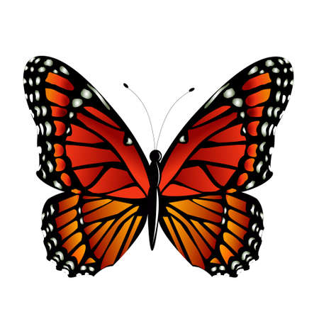 monarch butterfly: The Monarch butterfly Danaus plexippus vector on white