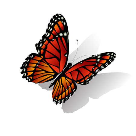 butterfly vector: The Monarch butterfly Danaus plexippus vector on white