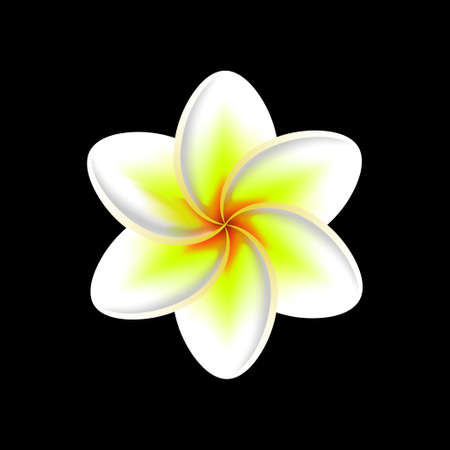 frangipani flower isolated on a black background